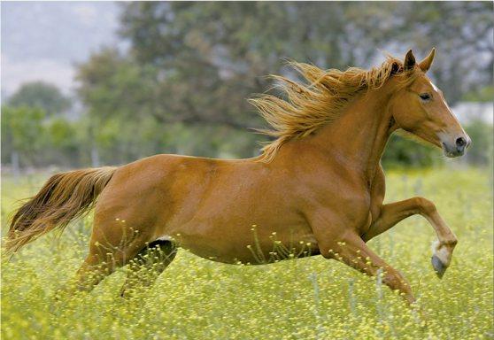Kůň je nejupřímnější tvor na zemi-dělá-li něco špatně, je to pravděpodobně protože jste mu to poručili.